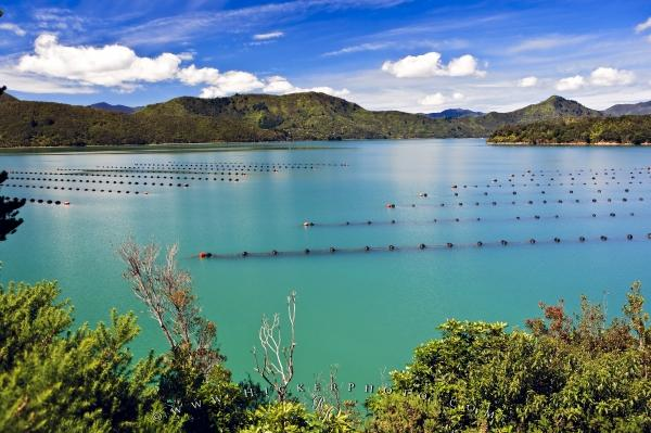 Marlborough Sounds New Zealand  City new picture : ... Mussel Farm Kenepuru Sound Waitaria Bay Marlborough Sounds New Zealand