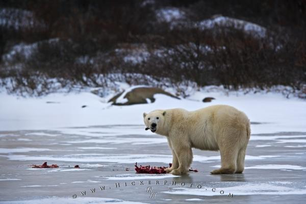 Polar Bear Ringed Seals Meal Frozen Lake Manitoba