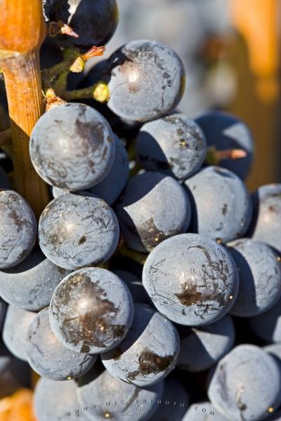 Photo:  Red Wine Grapes