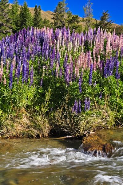 Photo:  Russell Lupins Wildflowers Central Otago River