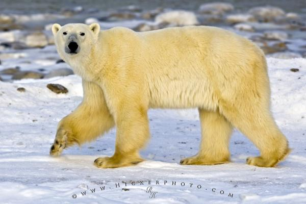 Sea Bear Ursus Maritimus Hudson Bay Churchill Manitoba