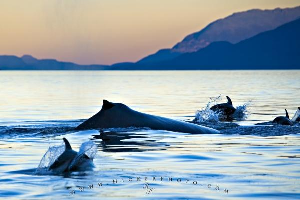 Sea Creatures Humpback Whale Dolphins Sunset Photo