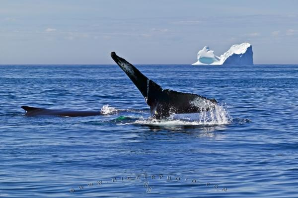 Humpback Whales Tail Iceberg Atlantic