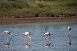 Picture of Greater Flamingos an iconic bird of the Camargue in the Provence region of France