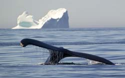 photo of a humpback whale and icebergs