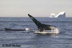 photo of a humpback whale with an iceberg in the background