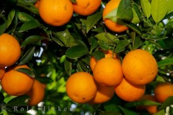 Picture of the famous oranges produced by the province of Valencia in Spain which is sold around the world