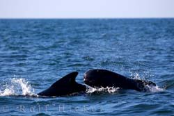 photo of a newfoundland whale watching tour with pilot whales
